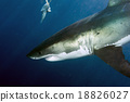 Great White shark ready to attack 18826027