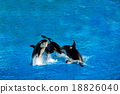 orca killer whale while jumping 18826040