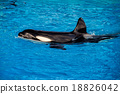 orca killer whale while swimming 18826042