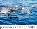common dolphin jumping outside the ocean 18826043
