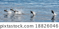 common dolphin jumping outside the ocean 18826046