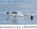 common dolphin jumping outside the ocean 18826048