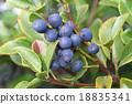 水果 車輪梅豬苓 也多山楂 18835341