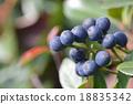 水果 車輪梅豬苓 也多山楂 18835342