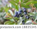 水果 車輪梅豬苓 也多山楂 18835345