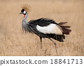 Grey Crowned Crane in the wild 18841713