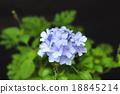 白花丹屬 藍雪花 藍色石墨 18845214