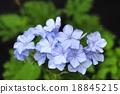 白花丹屬 藍雪花 藍色石墨 18845215