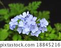 白花丹屬 藍雪花 藍色石墨 18845216