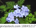 白花丹屬 藍雪花 藍色石墨 18845217