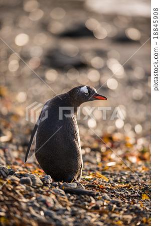 Gentoo penguin, South Georgia, Antarctica 18845908