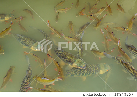 Fish in the lake of Thailand 18848257