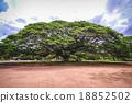 樹木 樹 泰國 18852502