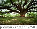 樹木 樹 泰國 18852503