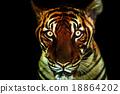 老虎 虎 嬰兒 18864202