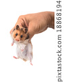 Hamster (Syrian Hamster) in hand  18868194
