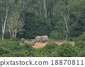 ช้าง,ป่า,สัตว์ป่า 18870811