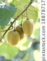 奇異果 獼猴桃 水果 18878717