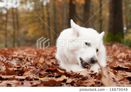 White sheppard in the forest chewing on his stick 18879048