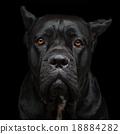 Cane corso dog 18884282