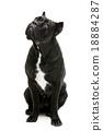 Cane corso dog 18884287