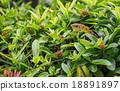 Snakes on a shrubs 18891897