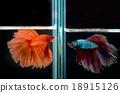 siamese fighting fish 18915126