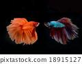 siamese fighting fish 18915127