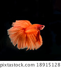 siamese fighting fish 18915128