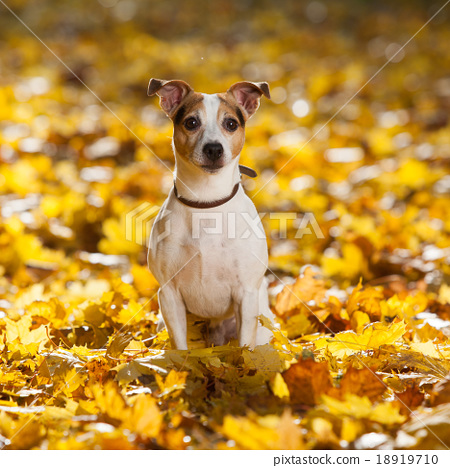 Gorgeous jack russell terrier sitting in leaves 18919710