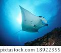 魟魚 海魚 蝠鱝 18922355