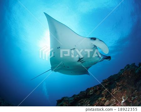 魟鱼 黄貂鱼 蝠鲼 18922355