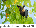 Indian flying fox, Greater Indian fruit bat  18924780