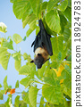 Indian flying fox, Greater Indian fruit bat  18924783