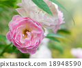 Pink Fairy Rose 18948590