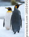 King penguin, Antarctica 18950455