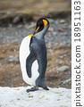 King penguin 18951163
