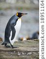 The King Penguin (Aptenodytes patagonicus) 18951164
