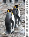 King penguin 18951165