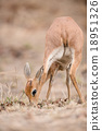 Female Steenbok (Raphicerus campestris) 18951326