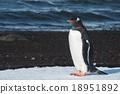 Gentoo penguin singing, South Georgia, Antarctica 18951892