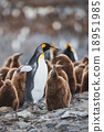 King penguin and chick in South Georgia 18951985