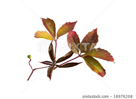 autumn grape leaves or vine 18976208