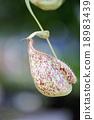 Focus on pitcher plant of macro. 18983439
