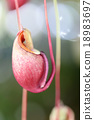 Focus on pitcher plant of macro. 18983697