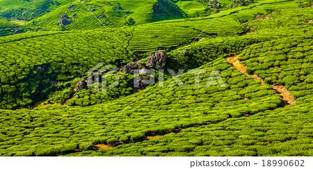 Green tea plantations in Munnar, Kerala, India 18990602