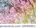 Japanese cherry blossom, Sakura blooming in summer 18996861