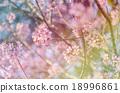 Japanese cherry blossom, Sakura blooming in summer 18996861