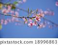 Japanese cherry blossom, Sakura blooming in summer 18996863