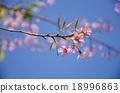 Japanese cherry blossom, Sakura blooming in summer 18996863